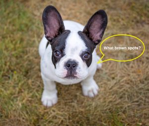 French Bulldog Puppy on Grass EcoTurf of Northern Colorado