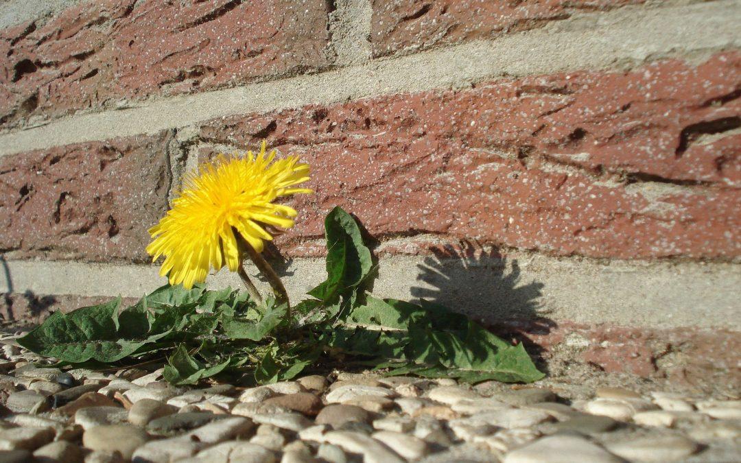 Weed of the Week–The Dreaded Dandelion