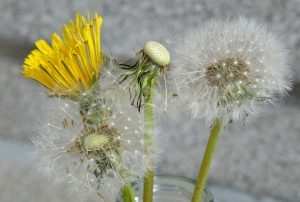 Dandelion EcoTurf of Northern Colorado