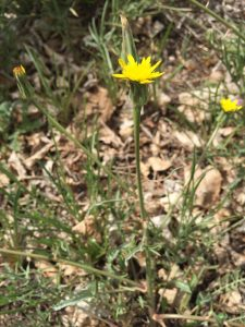 Meadow Salsify EcoTurf of Northern Colorado Weed Control