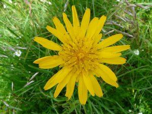 Meadow Salsify EcoTurf of Northern Colorado Weed Control