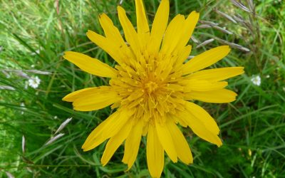 Weed of the Week: Meadow Salsify (Tragopogon pratensis)
