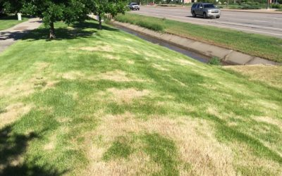 Lawn Brown Spots 201: Ascochyta Turf Blight