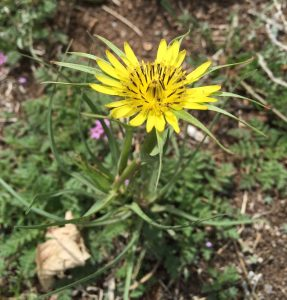 Western Salsify EcoTurf of Northern Colorado