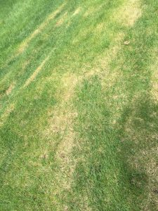 Kentucky Bluegrass EcoTurf of Northern Colorado