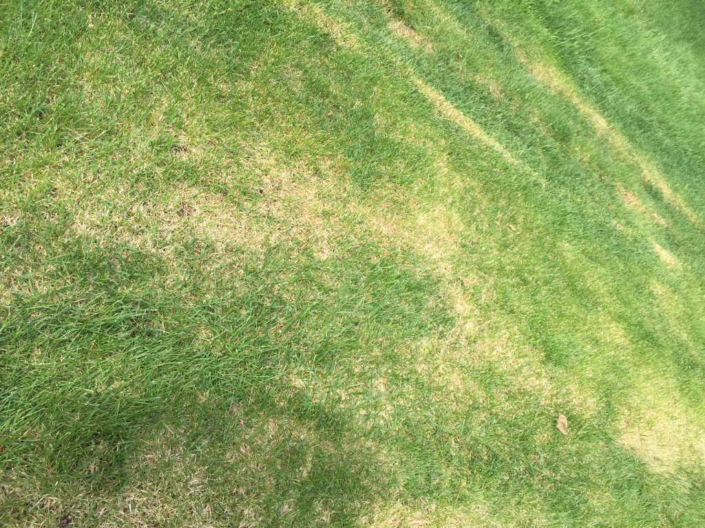 Here is an example of a lawn of Kentucky Bluegrass mowed too short.