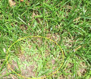 Crabgrass Weed EcoTurf of Northern Colorado