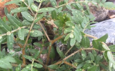 Weed of the Week: Goat Head – Puncture Vine