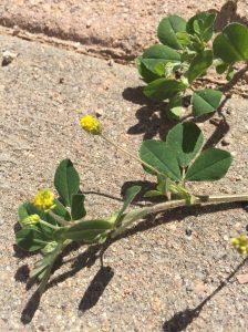 Black Medic Weed Control EcoTurf of Northern Colorado