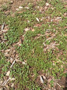 Purslane Weed Infestation EcoTurf of Northern Colorado