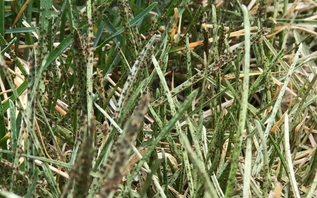 What are those tiny bugs in my lawn called?