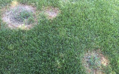 Colorado's Most Common Lawn Problem