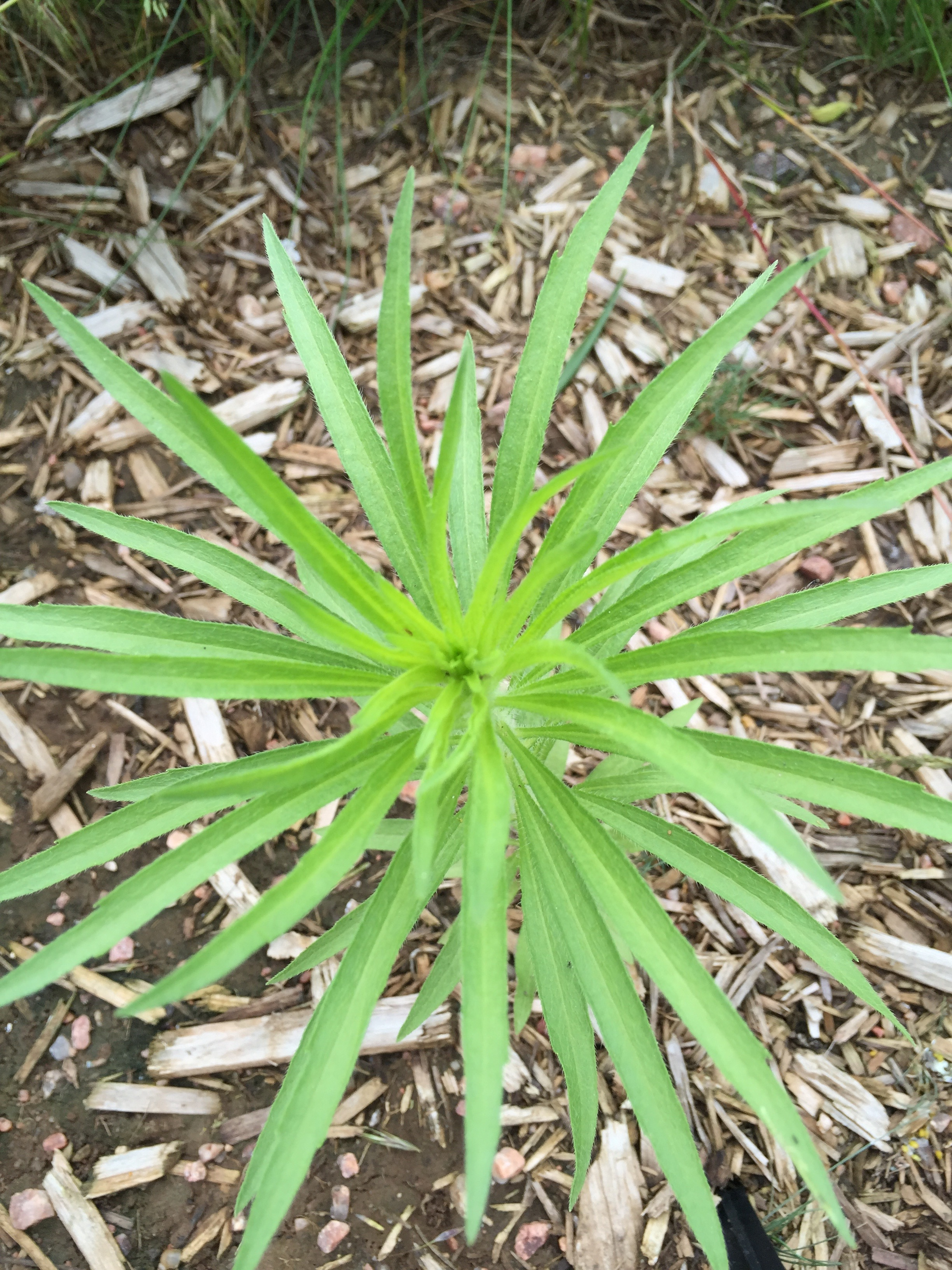 horseweed_marestail_winter_annual_yard_grass_ecoturf