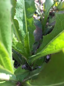 Prickly Lettuce EcoTurf of Northern Colorado
