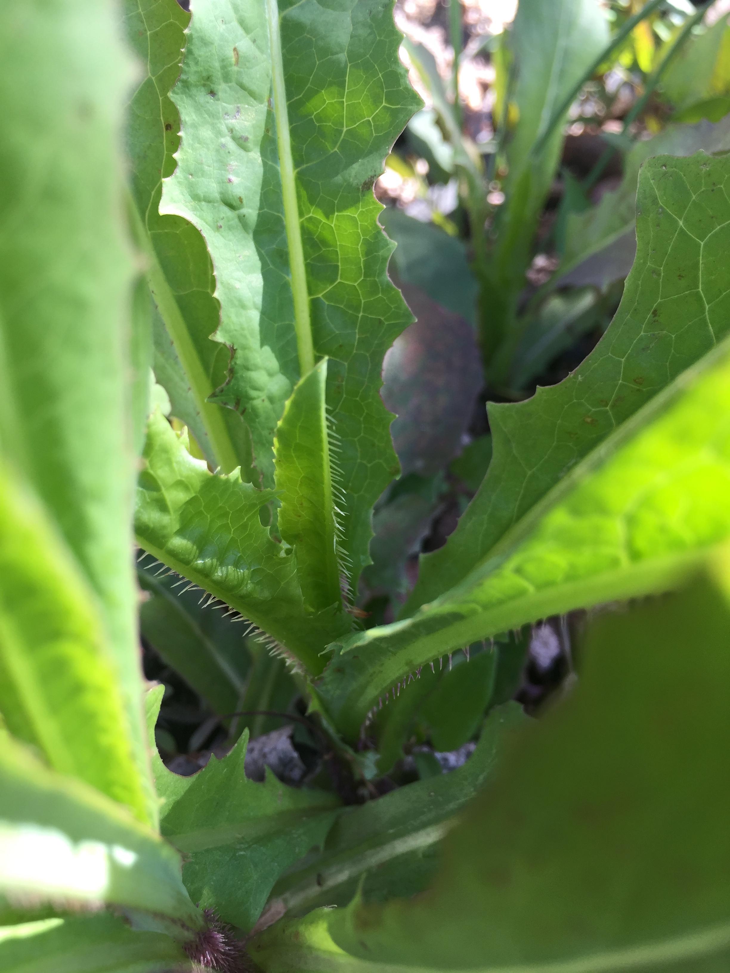 prickly_lettuce_weed_control_ecoturf_northern_colorado