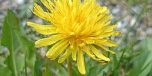 Weed Control Dandelion EcoTurf of Northern Colorado
