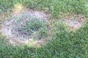 Necrotic Ring Spot EcoTurf of Northern Colorado