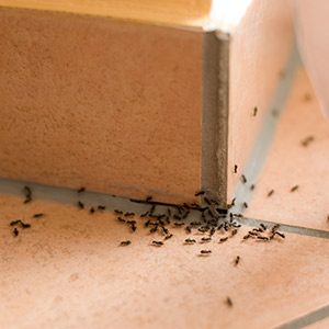 Sugar Ants EcoTurf of Northern Colorado Insect Control