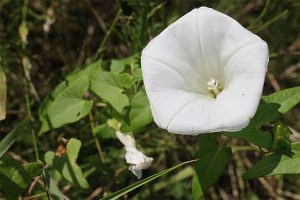 Weed Control Bindweed EcoTurf of Northern Colorado
