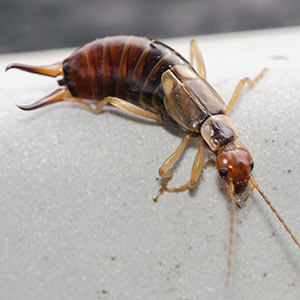 Earwig EcoTurf of Northern Colorado Insect Control