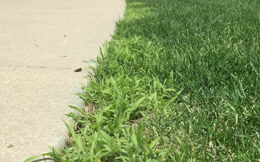 Weed of the Week : Crabgrass