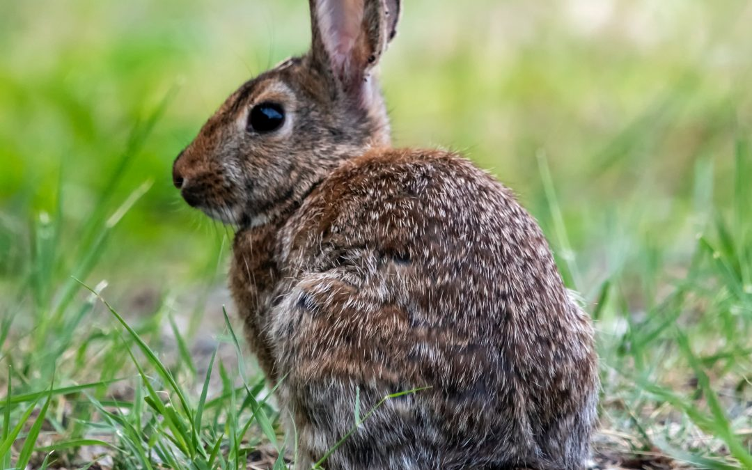 Lawn Problems : Rabbits