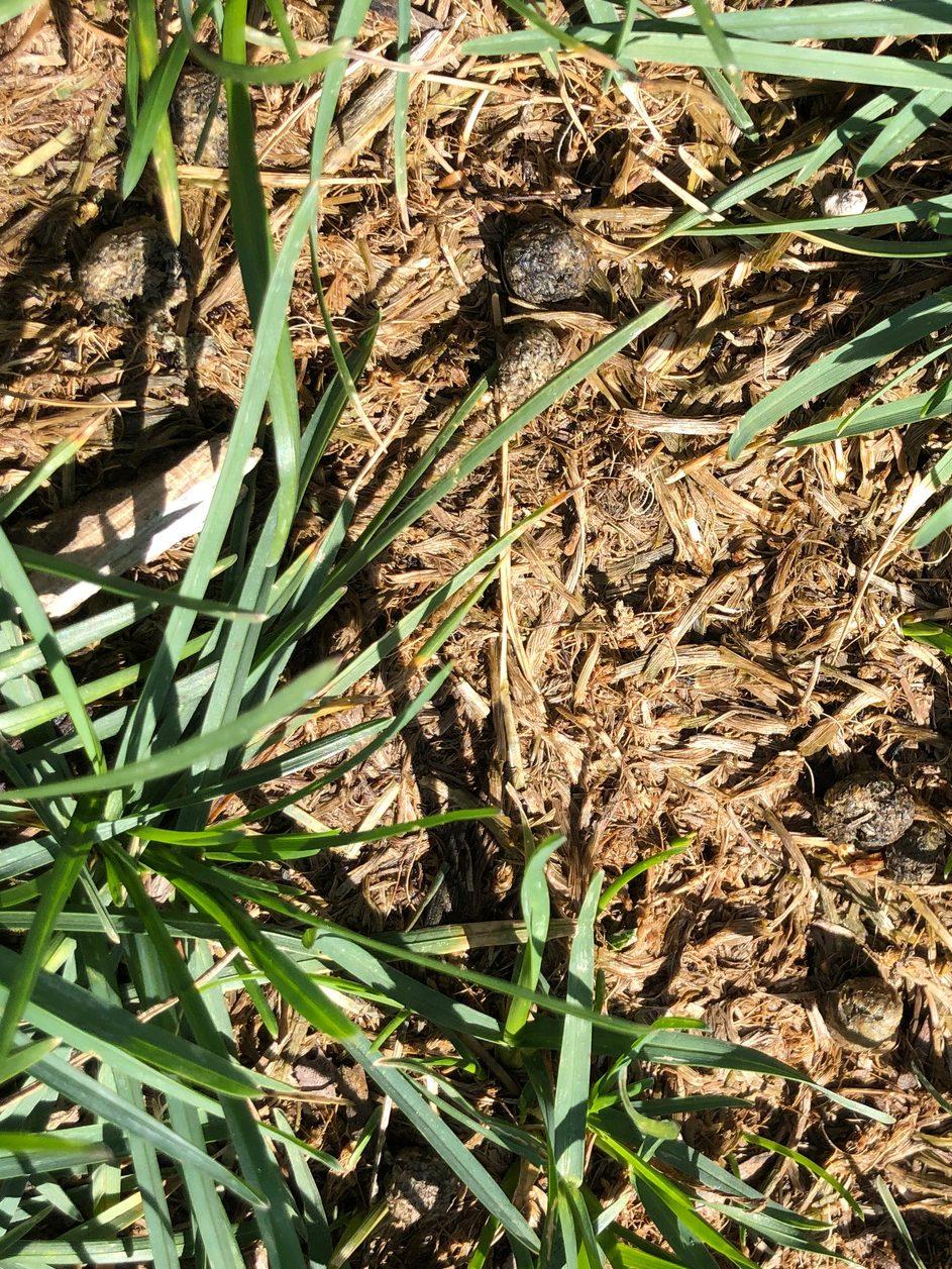 Starting of rabbit damage in turf.
