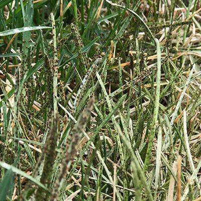 Lawn Mites