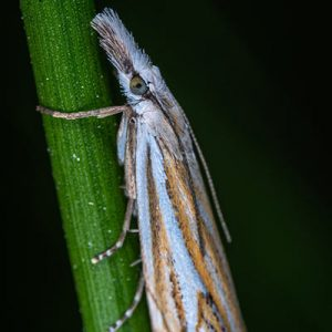 Sod Webworm Adult Moth